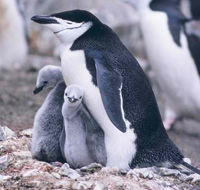 Chinstrap penguin and chicks (closeup), Seal Island