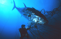 Tuna ensnared near the mouth of the fish trap