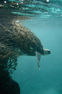 Sea turtle entangled in a ghost net