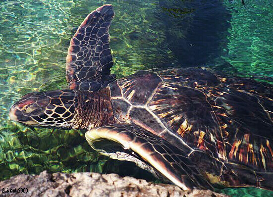 The federally- and state-listed threatened Pacific green sea turtle (Chelonia mydas)(=honu). (Courtesy of G. Siani©).