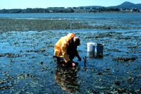 Collecting marine organisms at low tide