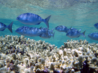 Reef scene with school of bluestripe snapper (Lutjanus kasmira)