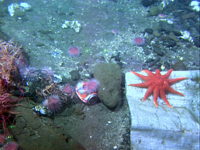 Seastar and echonoderms among ocean garbage