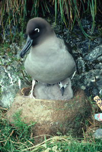 Light mantled sooty albatross and chick