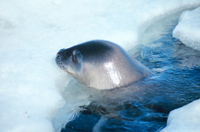 A Weddell seal at a breathing hole
