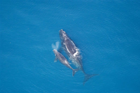 Endangered Right whale and calf
